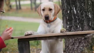 Labrador Amber tricks training