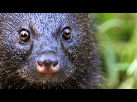 A Mongoose and Black Mamba Fight to the Death