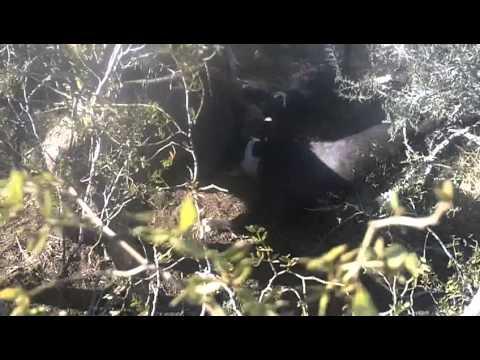 caza de chancho jabali la pampa