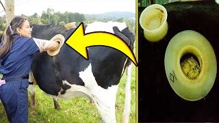 لماذا يثقبون أجساد البقر في المزارع الأمريكية ؟
