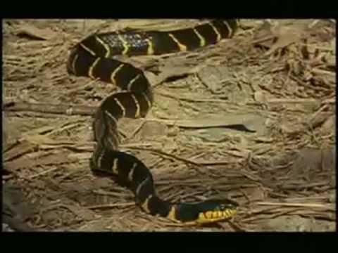 BRAZIL Cobra Naja comendo outra cobra