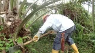 Cosecha, fruto palma de aceite,video cosecha fruto palma de aceite