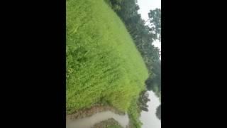 Jute field Satkhira Bangladesh