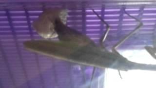 Princess our praying mantis laying an egg sack