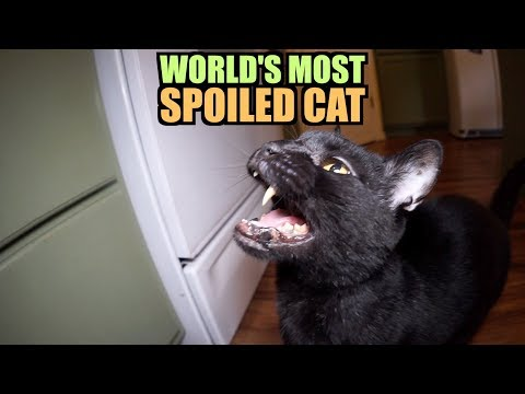 Talking Kitty Cat World s Most Spoiled Cat