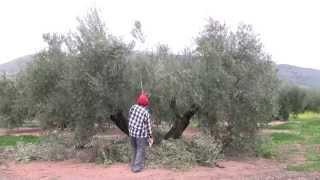 La Poda de Producción del Olivo