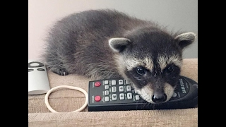 Raccoon Who Fell From Tree Has The Best Family Now