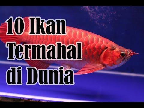 10 Ikan Termahal Di Dunia - Sepuluh Tube