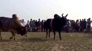 Bangladesh bullfight oborud vs matir Moyna