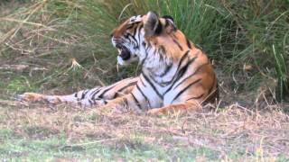Tiger Hunting Deer