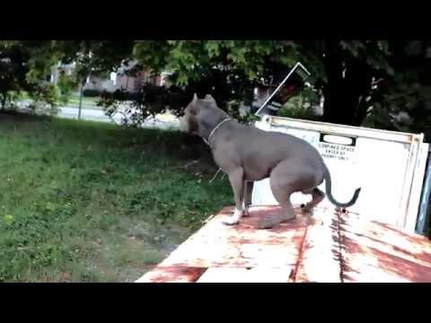 Best ultimate pit bull protection guard