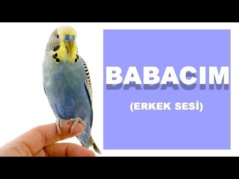 Erkek BABACIM sesi | Muhabbet Kuşu Konuşturma Eğitimi