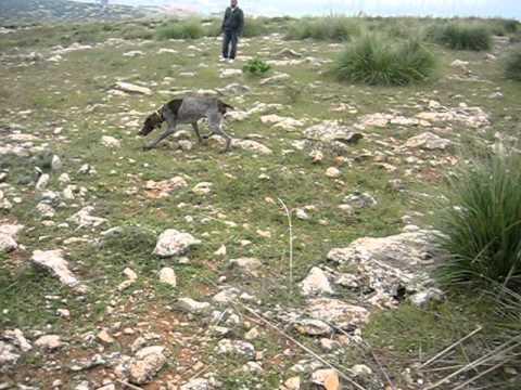 CHASSE EN ALGERIE BRAQUE FRANCAIS 2