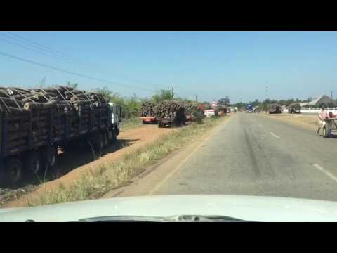 Chinese Rape of Mozambique Forests