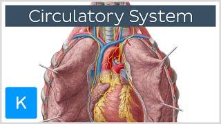 Circulatory system - Function, Definition & Anatomy - Human Anatomy  Kenhub