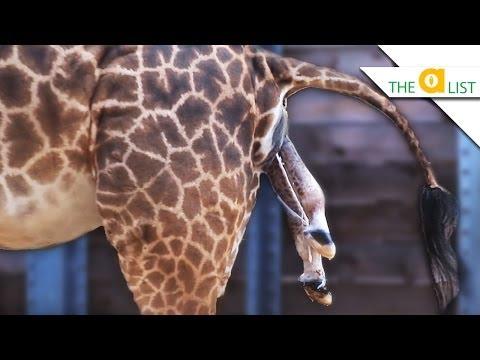 Xxx Mp4 3 Unexpected Ways Animals Give Birth 3gp Sex