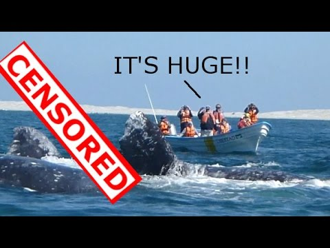 Gigantic Whale Penis - Women Divert Your Eyes! Whales Mating Ritual Exposed!
