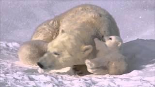 Любовта на полярните мечки: Сладки полярни мечета с майка си