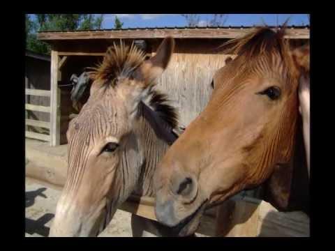 Zebra Bred with Horse & Donkey (Zorse & Zonkey)