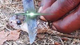 VIRAL VIDEO : Nagmani Found On Cobra Head नागपंचमी से पहले, नाग के सिर से मिली नागमणि