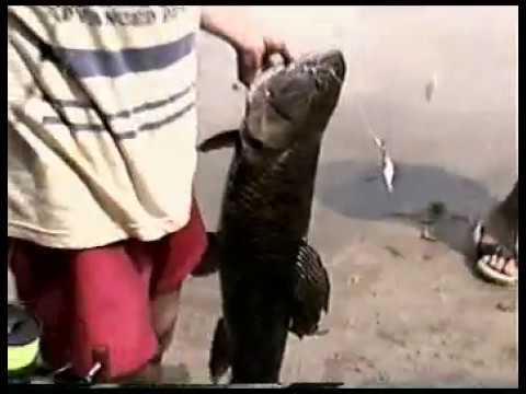 pescaria traira 10 kl binnofunilaria .br