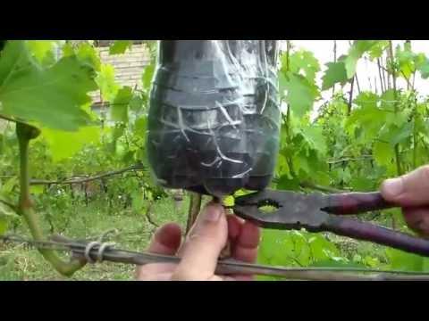 Выращивание саженцев яблони из черенков 73