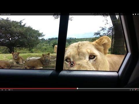 Xxx Mp4 शेर कार के दरवाजे खोलता है 3gp Sex