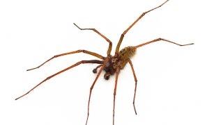 Big spider eats Wasp