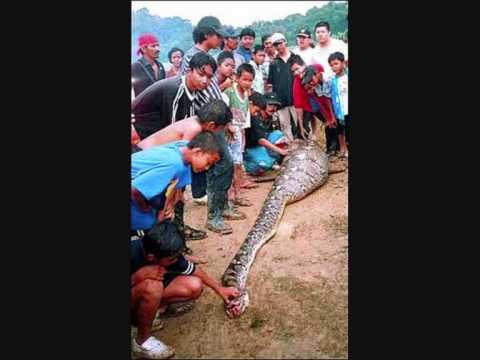 Anaconda snake eats man COBRA SUCURI COME HOMEM