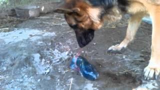Caring German shepherd giving birth