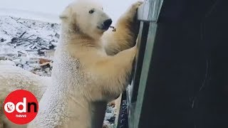 Dozens of polar bears invade Siberian town to scavenge for food