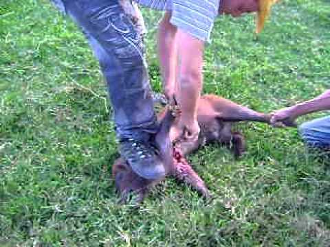 Orlan matando o porco