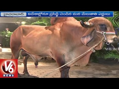 Xxx Mp4 Work Shop On Indigenous Cattle Breeding Policy In India Hyderabad V6 News 3gp Sex