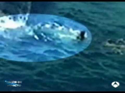 Ataque de tiburon blanco Impacto TV
