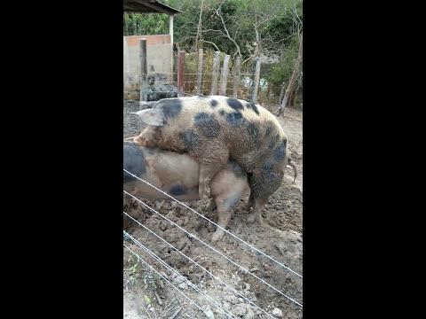 Casal de porco da raça Pietran cruzando
