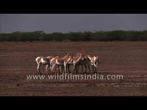Xxx Mp4 Wild Ass Herd Grazes And Ambles Along Tails Wagging In The Salt Desert Of Gujarat 3gp Sex