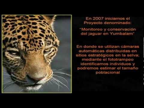 Jaguares la conservacion 2010 dime jaguar
