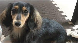 【Dog】お手伝いするミニチュアダックスフンドのジョン Miniature dachshund John to do chores