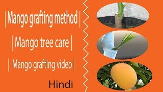 mango grafting | Old video without background music | Full video tutorial in Hindi Urdu