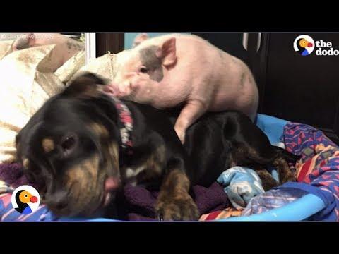 Xxx Mp4 Pig Dog Can T Stop Cuddling The Dodo 3gp Sex