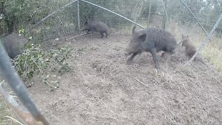 Trapping Wild Hogs