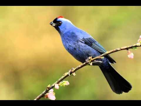 Cardenal Azul o Frutero Azul Cantando Sonido para Llamar El Mejor