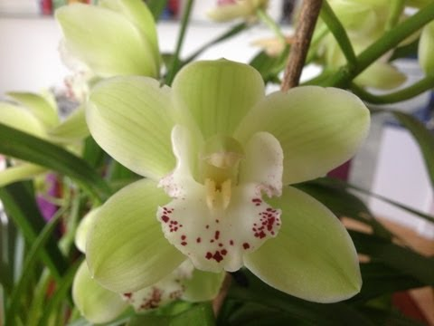 Easy Cymbidium Orchid care culture and re bloom tips