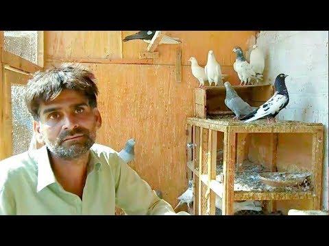 Xxx Mp4 Pigeon Farming In Pakistan Pigeon Farming Business Kabutar Farming Birds Farming Profit Info 3gp Sex