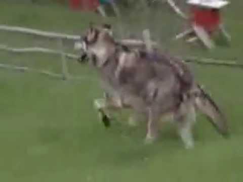 perro vs lobo gris pelea real