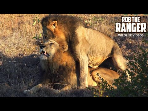Gay Pride! Male Lions Reinforcing Social Bonds