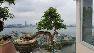 SH.469.Bất ngờ với những cây Cổ Quái tại vườn cảnh ông Nguyễn gia Thọ.Phó CT.TƯ.Hội SVC Việt Nam.