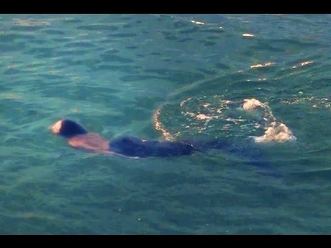 Sereia encontrada nadando em praia do Rio de Janeiro
