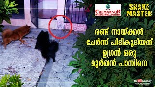 Wow! Two dogs together catch a dangerous Cobra | Vava Suresh | Snakemaster EP 427