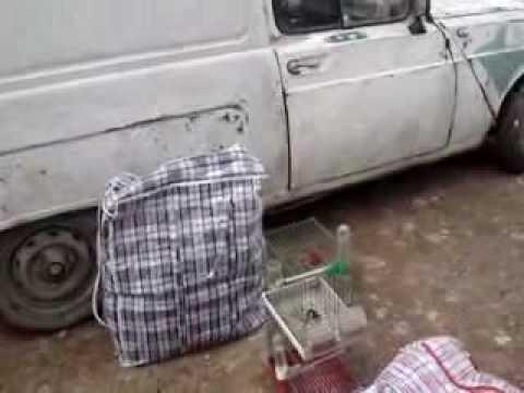 videos chardonnerets marche el harrache algerie chardonneret.flv